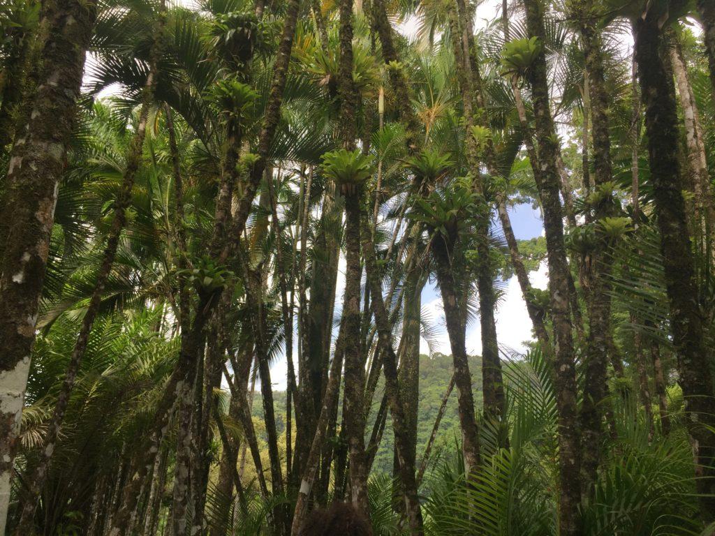 huile de palme, palmiers