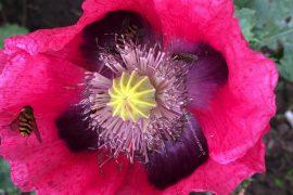 fleurs rose avec une abeille